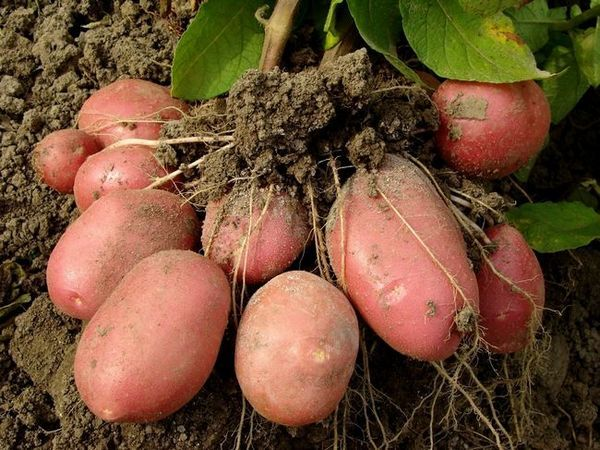 11 Moduri de a planta cartofi și de a obține o recoltă ridicată