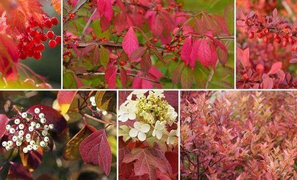 17 Veľkolepých kríkov, ktoré na jeseň ozdobia záhradu