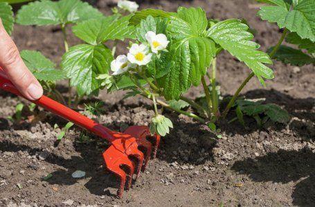 Îngrijirea căpșunilor primăvara: cum să obțineți fructarea maximă 12