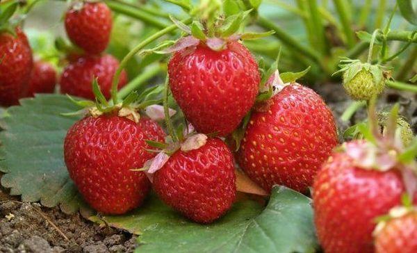 8 Soiuri incredibil de delicioase de căpșuni medii (descrieri și fotografii)