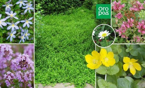 Neupitni tlo - najbolje biljke za vrtne staze