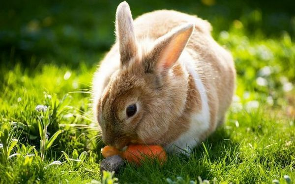 Boli și dăunători de morcovi și controlul acestora
