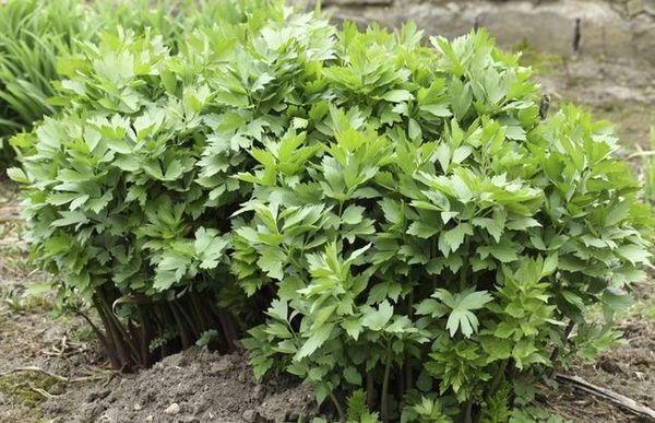 Brašno anis i celer - nepretenciozna i korisna lovaža