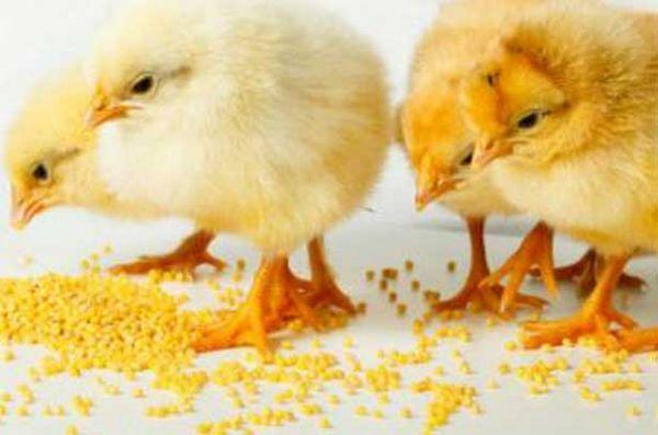Ako kŕmiť kurčatá doma: normy a výživa