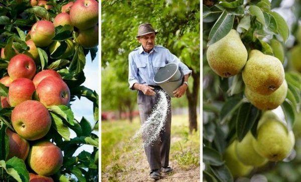 Cum să hrănești un măr și o pere toamna pentru o iernare mai bună și o recoltă bogată