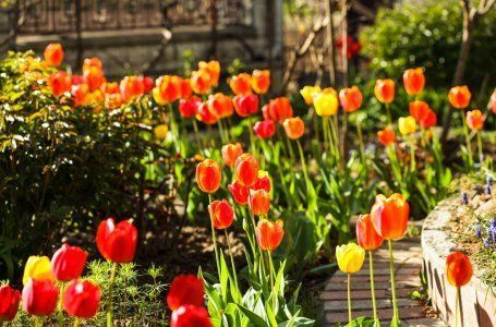 Ako pestovať tulipány v ílovitej pôde tak, aby dobre kvitli 6