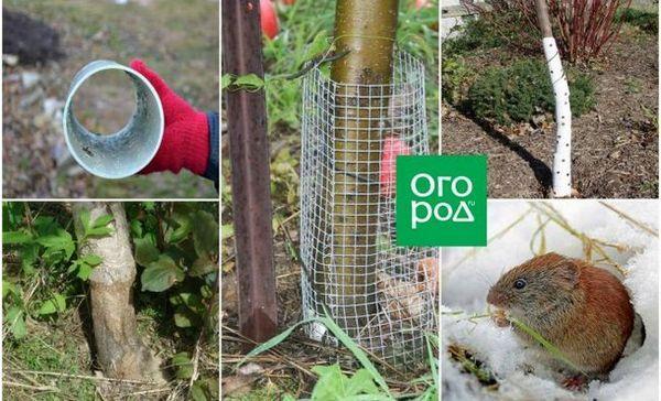 Ce trebuie să faceți dacă șoarecii au mușcat pomul și cum să protejați copacii de rozătoare în timpul iernii