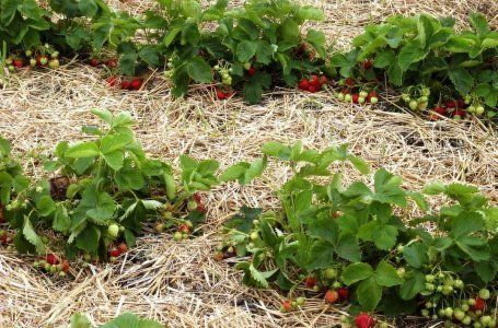 Ako pripraviť jahody na zimu - všetky najdôležitejšie jesenné diela 7