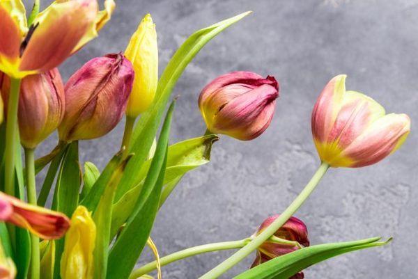 Što učiniti s tulipanima nakon cvatnje 2