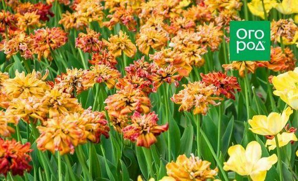 Čo robiť s tulipánmi po odkvitnutí