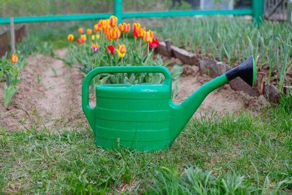 Što učiniti s tulipanima nakon cvatnje 4