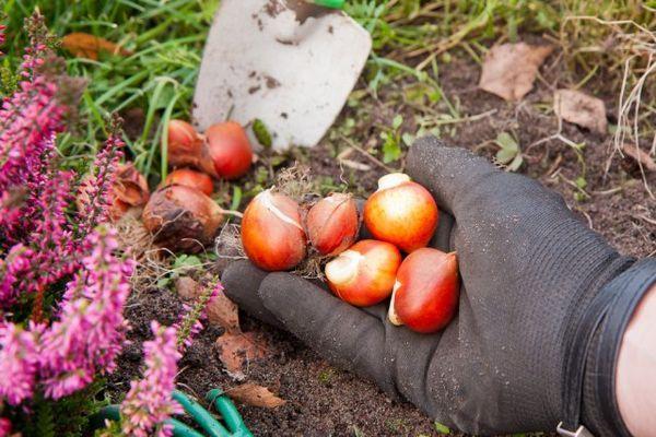 Što učiniti s tulipanima nakon cvatnje 5