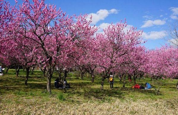 Kvitnúce broskyňa - krása záhrady
