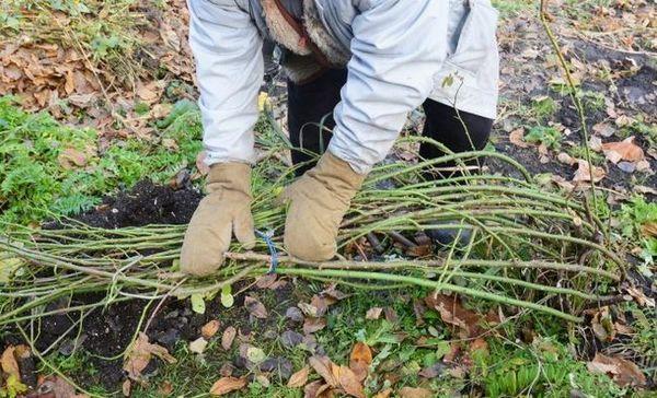 Príprava ruží na zimu - 13 užitočných rád pre začínajúcich záhradkárov