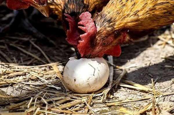 Z tohto dôvodu si sliepky vykladajú svoje vajcia a vajcia ostatných: čo robiť a ako vyriešiť problém?