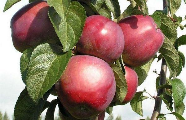 Imant jabloň: kompaktný strom a ovocie, ležiace do leta