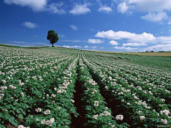 Cum să facilitați și să accelerați munca atunci când plantați cartofi folosind un cultivator