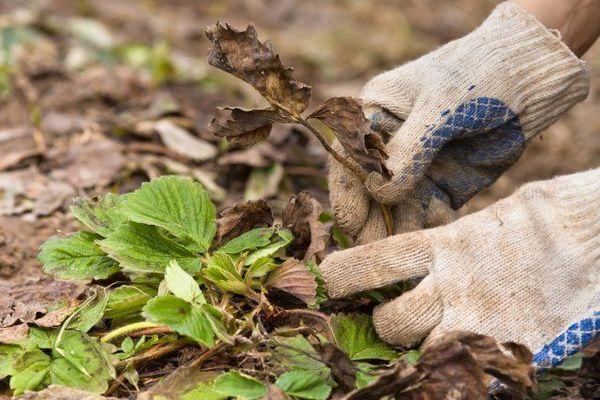 Kako pripremiti jagode za zimu - svi najvažniji jesenski radovi 4
