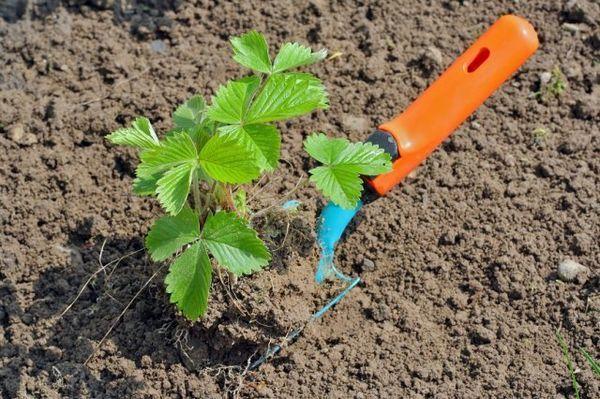 Kako saditi jagode u 3. kolovoza