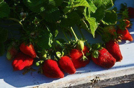 Kako saditi jagode u 5. kolovoza