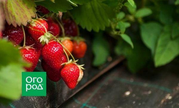 Cum să plantezi căpșuni sub un spanbond sau film