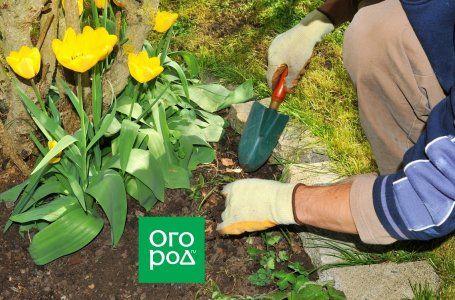 Što učiniti s tulipanima nakon cvatnje 7
