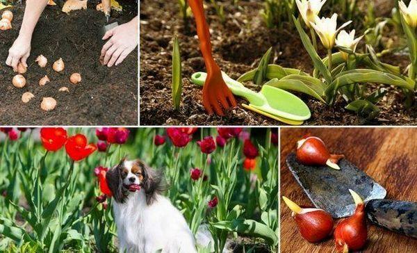 Ako pestovať tulipány v ílovitej pôde tak, aby dobre kvitli 1