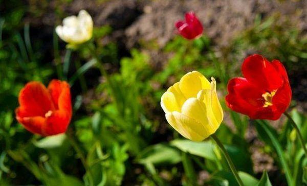 Ako zasadiť tulipánové žiarovky na jeseň