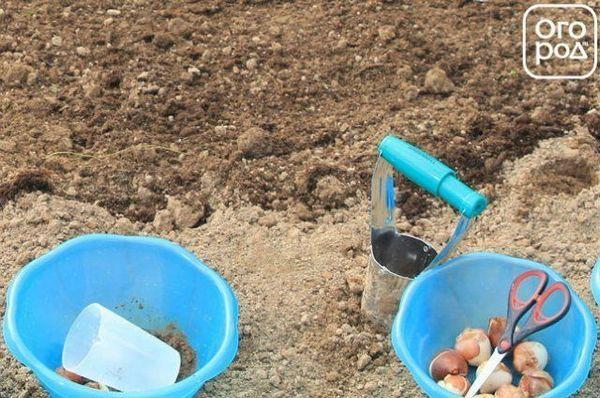 Kako posaditi lukovice tulipana u jesen 5