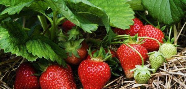 Ako sa starať o záhradné jahody na jar