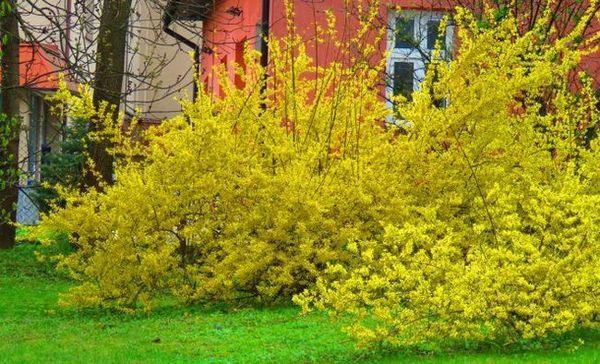 Ako sa starať o zlatú syntézu na jeseň, aby na jar potešilo kvitnutie