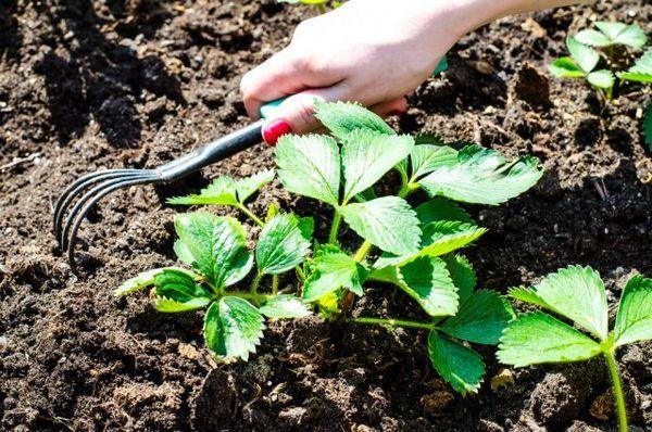 Cum să îngrijești căpșunile după recoltare, astfel încât să fie și mai mult 3