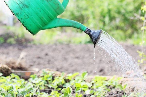 Cum să îngrijești căpșunile după recoltare, astfel încât să fie și mai mult 5