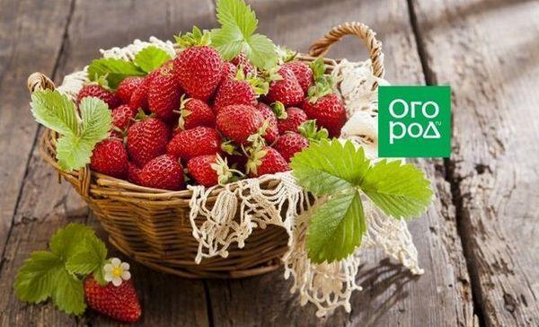 Cum să îngrijești căpșunile după recoltare, astfel încât să fie și mai mare