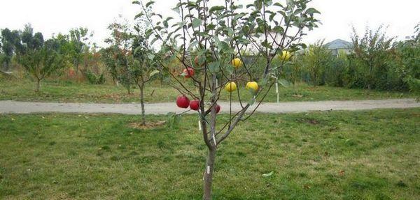 Ako si vybrať sadbu jabloní, nechať ju až do jari a zasadiť ju správne