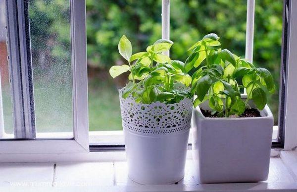 Kako uzgajati bosiljak kod kuće: savjeti za početnike vrtlare