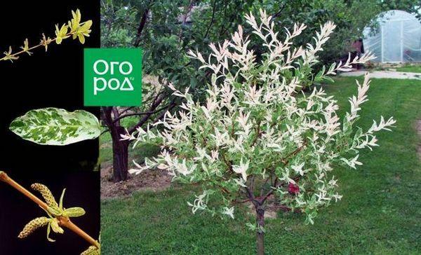 Ako pestovať hakuro nishiki - všetko o exotických vŕbách vo vašej záhrade