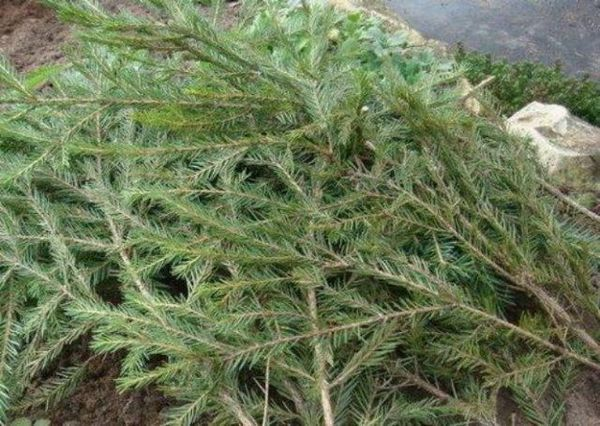 Ako pestovať lesné huby v krajine 5