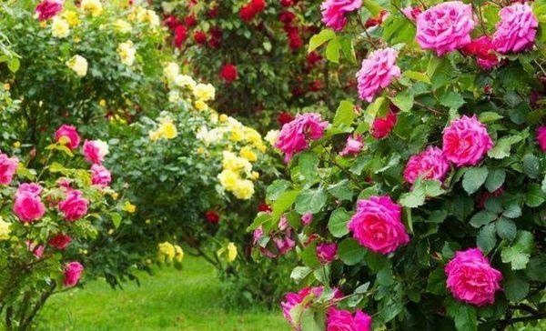 """Ako pestovať ruže bez """"chémie""""?"""
