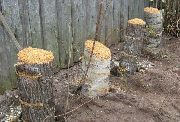 Kako uzgajati gljive kamenica na panjevima? 2