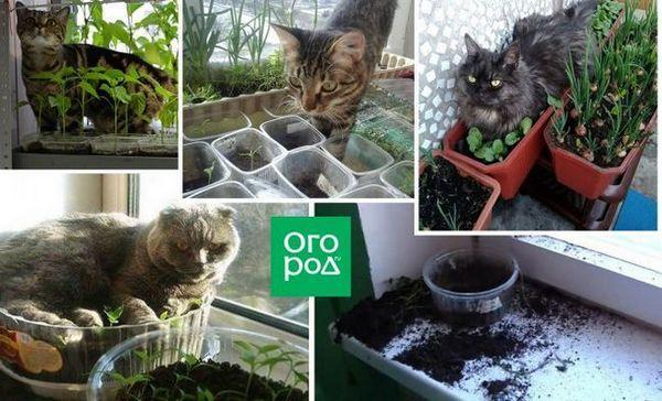 """Ako chrániť sadenice pred mačkami - zastaviť """"vojnu"""" a zachrániť budúcu úrodu"""