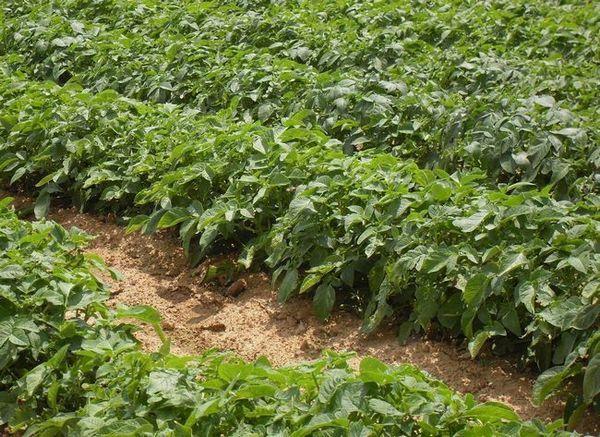 Fiule de cartofi, este un erou: o descriere a soiului și sfaturile pentru creștere