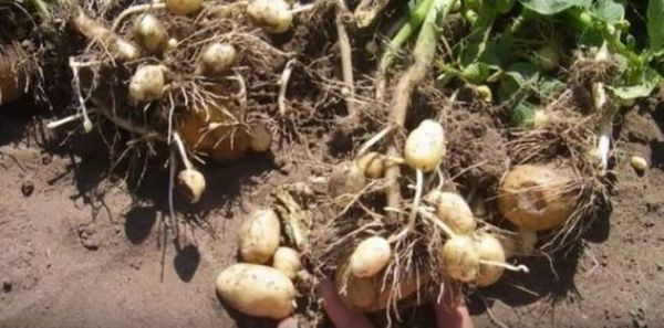 Nematode din cartofi, specii și lupte