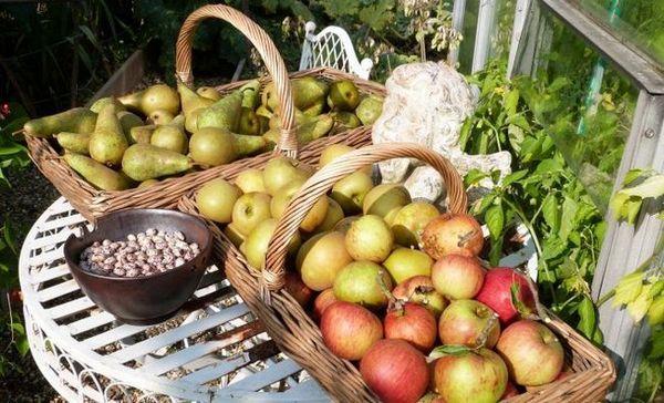 Când și cum se recoltează mere și pere