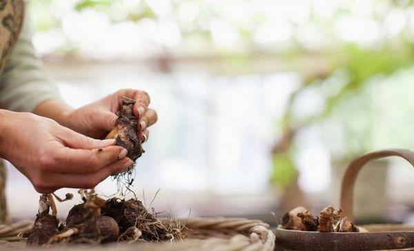 Kedy vykopať a ako ušetriť žiarovky tulipánov, hyacintov, narcisov, krokodílov
