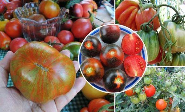 Zbierka anny volkovej: 120 druhov paradajok je len začiatok