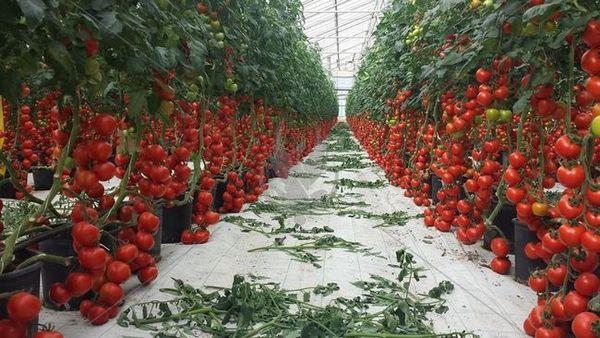 Pe scurt despre metodele și tehnologiile pentru cultivarea roșiilor