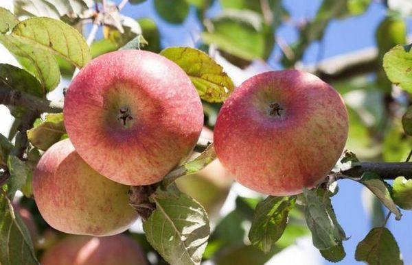 Letné cukrovinky z jabloní - jedinečný výber domáceho výberu