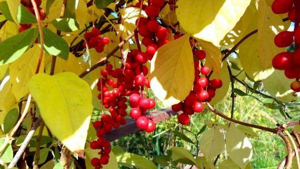 Schisandra chinensis 2