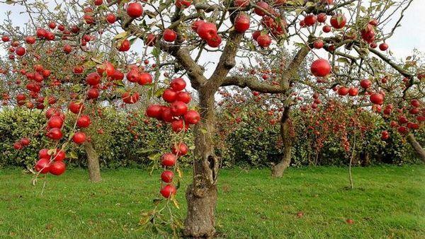 Najlepšie odrôd jabloní